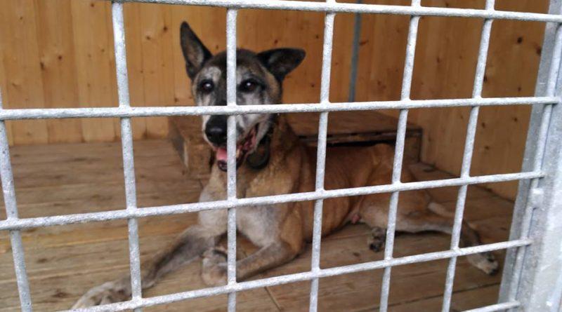 Babylone, un chien de sécurité à la retraite sauvé in-extremis par l'association SADF